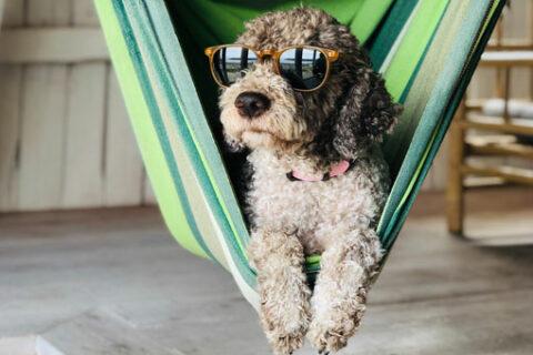 Kuža v viseči mreži s sončnimi očali